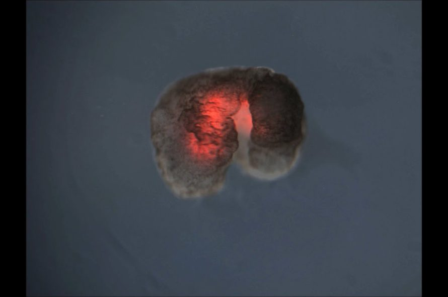 Beating heart cells get a ride to the International Space Station